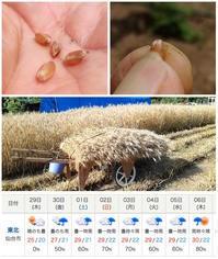 小麦(ゆめのかおり)刈入れ開始 - ■■ Ainame60 たまたま日記 ■■