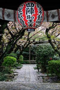 京都の桜2017 雨宝院散り桜 - 花景色-K.W.C. PhotoBlog