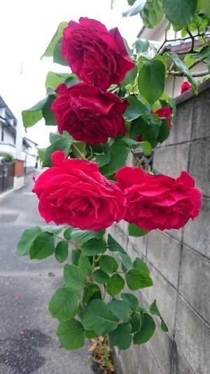 薔薇🌹 - 合言葉はわくわく