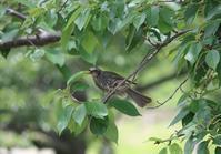 今日の鳥さん 170626 - 万願寺通信