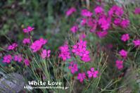 ナデシコ(pink) - White Love