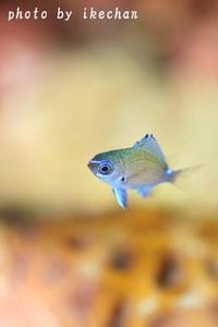 バック5変化(へんげ) ~アマミスズメダイ幼魚~ - 池ちゃんのマリンフォト