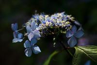 紫陽花! ~梅宮大社~ - Prado Photography!