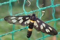 カノコガ Amata fortunei - 写ればおっけー。コンデジで虫写真