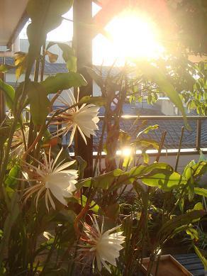 月光と朝日を浴びて咲き続けた月下美人… - 超健康が夢      院長日記