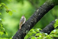 ヤマゲラ - 比企丘陵の自然