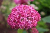 アナベルと嬉しいコラボ - HOME SWEET HOME ペコリの庭 *