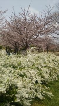 お花見@舎人公園 - Les feuilles du coeur