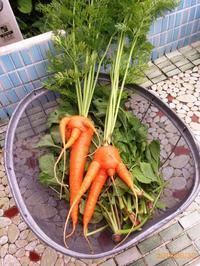 苗づくりして定植したニンジンがホラー、と稲っこの成長、と今日のお弁当 - にじまる食堂 & にじまる農園