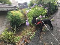 1706-080:梅雨の紫陽花、ナウキャストして寝不足 - ブーヤンとボク☆達との日々