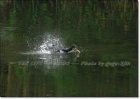 水しぶき立てて勢いよく潜る様 - THE LIFE OF BIRDS --- 野鳥つれづれ記