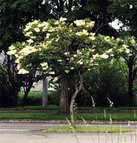 【イヌエンジュ・ヤマボウシ・カツラ 元気な初夏の木々】 - 性能とデザイン いい家大研究