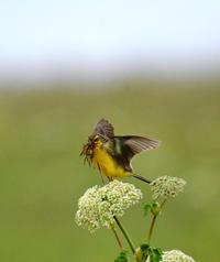 お忙しい ツメナガセキレイ - ノラニンジンの咲く庭