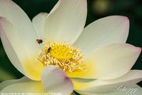 蓮の花 その2 ・・ - ぶらりカメラウォッチ・・