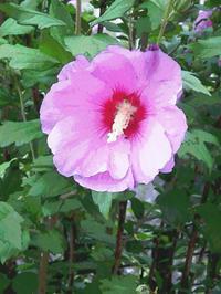 庭の芙蓉が咲き始めました。 - ご無沙汰写真館