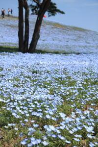 青い空と青い花♪ - 君の瞳に恋してる♪