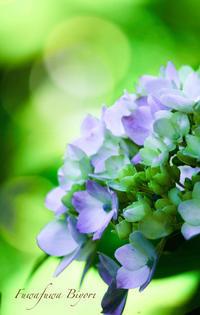 紫陽花 ** - ふわふわ日和