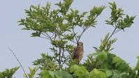 川向こうのチョウゲンボウ幼鳥3個体目 - Life with Birds 3