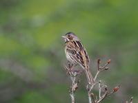 霧ケ峰高原のホオアカ - コーヒー党の野鳥と自然 パート2