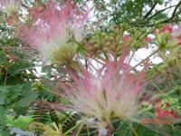 合歓の花 - 家の周りの季節感