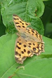 キタテハ Polygonia c-aureum - 写ればおっけー。コンデジで虫写真
