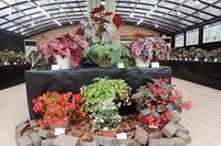 明日からの『ベゴニア展』先取り情報!ヽ(^o^)丿 - 手柄山温室植物園ブログ 『山の上から花だより』
