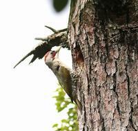子育中でしたアオゲラ(その2)・・・ - 一期一会の野鳥たち