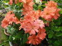 我が家の花 マツモトセンノウ咲く - 風の便り