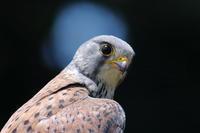 チョウゲンボウの子育て12 金色のリング - 気まぐれ野鳥写真