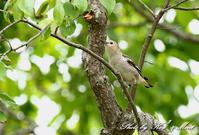 北の大地 遠征1日目 「コムクドリ」「ハクチョウ」さん♪ - ケンケン&ミントの鳥撮りLifeⅡ