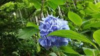 また来年が楽しみな、7月初めの鎌倉 - pirokon散歩
