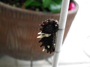 ジャコウアゲハの蛹化7月1日庭にて -