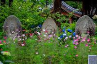 夏咲コスモスと紫陽花(般若寺) - 花景色-K.W.C. PhotoBlog