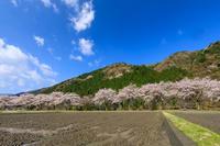 朽木大野の桜並木 - 花景色-K.W.C. PhotoBlog