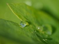 ボタンボウフウの葉に - はなひかり2