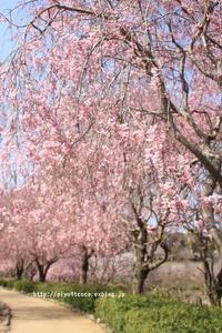 風土記の丘のしだれ桜♪ - 君の瞳に恋してる♪