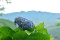 七曲りのアジサイ  吉野山 - 峰さんの山あるき