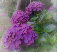 パープルレイン♪ - 花と夢遊び