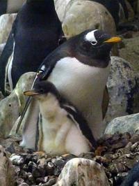 ジェンツーペンギンの親子 - aws0607の写真コーナー