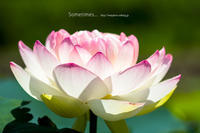 lotus flower - Sometimes...