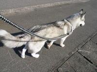 First Pilgrimage for Siberian Husky Hana II, May 4th 2006 (5) - 犬連れへんろ*二人と一匹のはなし*