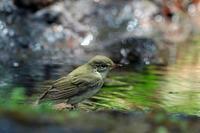 水場のメボソムシクイ - 比企丘陵の自然