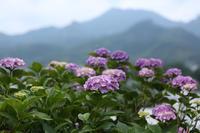 雨後の紫陽花 下仁田あじさい園 ③  - 風の彩り-2