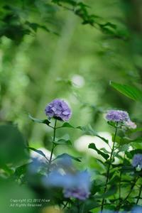 丘の上の紫陽花 - カメラをもってふらふらと