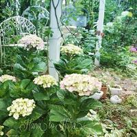雨の中の庭仕事 - 花とフラと好きなものに囲まれて…♪