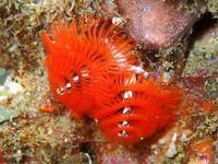イバラカンザシ 葉山 権太郎岩 水路 Spirobranchus giganteus Pallas, 1766 - 葉山の美味しいダイビング生活