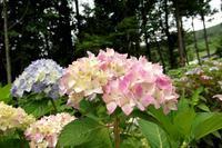 【番外編】赤沢あじさいまつり Ⅰ - 長岡・夢いっぱい公園