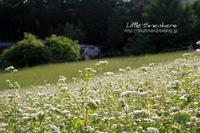 白い蕎麦の花畑 - Little Sneakers
