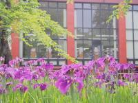 ハナショウブ:菊ヶ丘水郷公園(五所川原市)*2017.07.02 - 津軽ジェンヌのcafe日記