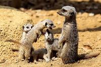 ミーアキャットの赤ちゃん - 動物園放浪記
